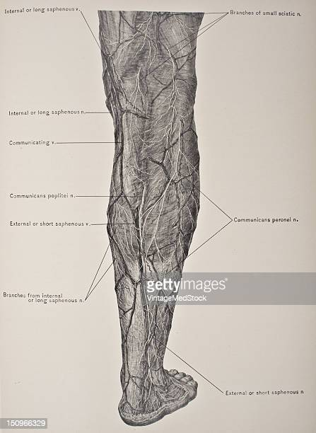 In the superficial fascia of the leg are suituated superficial vessels and nerves 1903 From 'Surgical Anatomy The Treatise of the Human Anatomy and...