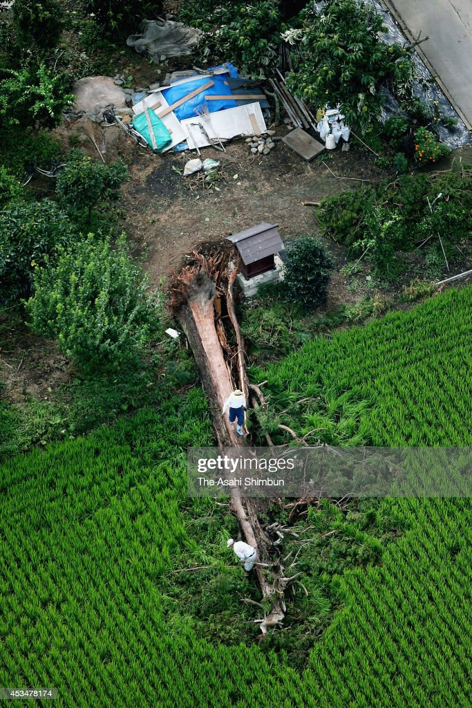 In this aerial image, a tree knocked over by strong wind triggered by Typhoon Halong on August 11, 2014 in Tsuga, Tochigi, Japan. Powerful typhoon No. 11, or Halong was downgraded into an extratropical depression on the morning of August 11 after lashing Japan with heavy rain and wind, leaving three people dead, 60 injured and one missing.