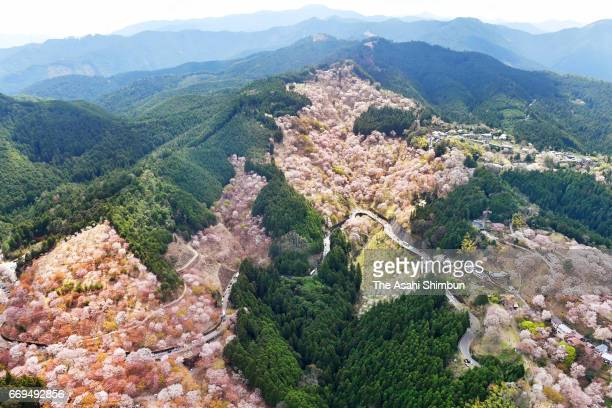 In this aerial image approximately 30000 cherry blossoms are in bloom at Mt Yoshino on April 16 2017 in Yoshino Nara Japan