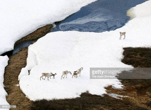 In this aerial image caribous are seen at the Arctic National Wildlife Refuge on June 18 2017 in Alaska United States In April 2017 US President...