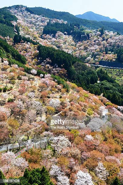 In this aerial image cherry blossom at Yoshino are in full bloom on April 8 2013 in Yoshino Nara Japan