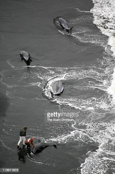 In this aerial image local residents try to rescue stranded dolphines at Tonami Beach on February 28 2006 in Ichinomiya Chiba Japan