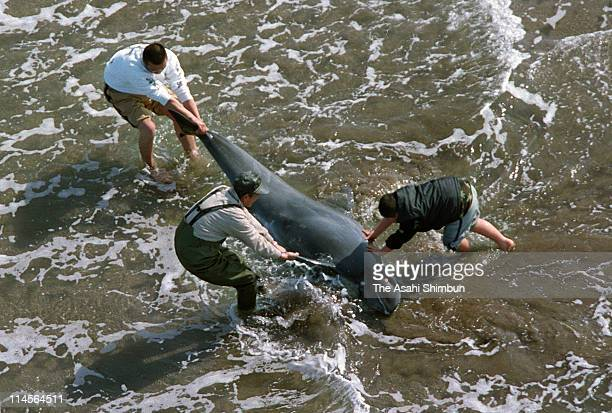 In this aerial image people try to rescue the stranded whale at the beach on February 24 2002 in Hasaki Ibaraki Japan