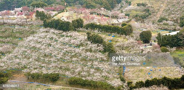 In this aerial image plum trees are seen in full bloom along hills on February 26 2014 in Minabe Wakayama Japan