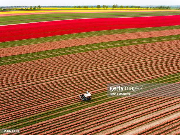 In this aerial photo, a special machine cultivates a large tulip field to separate the blossoms from the rest of the plant on May 2, 2018 in...