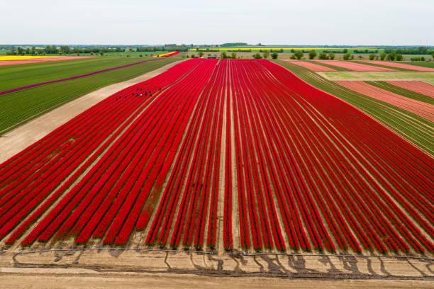 Tulip Fields Blossom Near Magdeburg