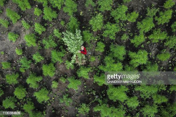 In this aerial picture taken from a drone a man carries marijuana plants during a police raid on 10 hectares of marijuana plantation in Montasik,...