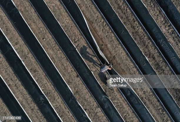 In this aerial view a seasonal worker from Poland harvests white asparagus at an asparagus field on April 08 2019 near Beelitz Germany The Beelitz...