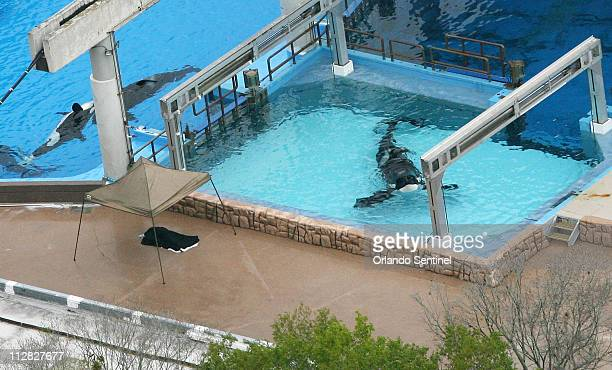In this aerial view, February 24 at SeaWorld, the body of whale trainer Dawn Brancheau lies under a black tarp. A killer whale grabbed and dragged...