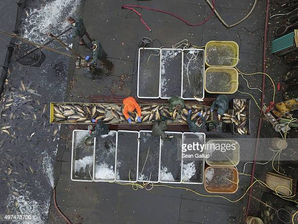 In this aerial view fishermen sort carp during the annual carp harvest at fish ponds on November 16 2015 near Peitz Germany Fish farming at the over...