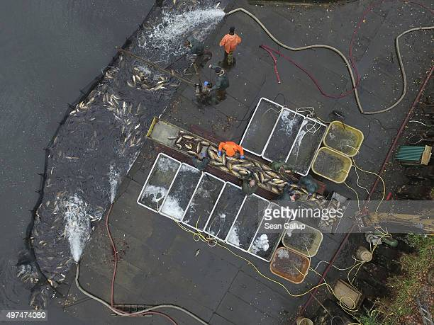 In this aerial view fishermen sort live carp and prepare them for transport during the annual carp harvest at fish ponds on November 16 2015 near...