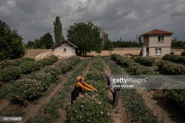 In this aerial view, women pick roses during the start of the annual rose harvest at a rose farm supplying roses to Gulsha Cosmetics on June 1, 2021...