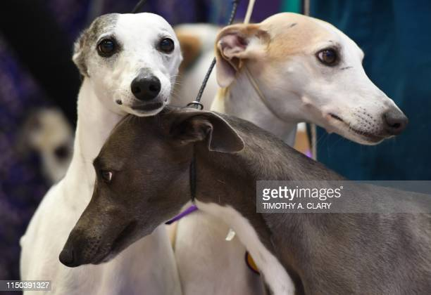 In this file photo taken on September 26 2017 Whippets gather at Madison Square Garden to celebrate 125 years of their competition in the Annual...