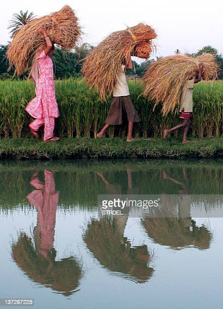 CHAND 'INDIAECONOMYAGRICULTURECRISIS' In this file photograph dated 13 November 2006 members of an Indian farmer family carry bundles of paddy...
