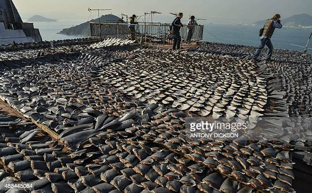 In this file picture taken on January 2 2013 Shark fins drying in the sun cover the roof of a factory building in Hong Kong Populations of marine...
