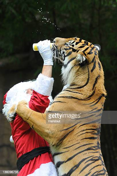 In this handout image provided by Australia Zoo A Sumatran tiger Bashii meets Santa whilst playing at Australia Zoo on December 16 2011 in Beerwah...
