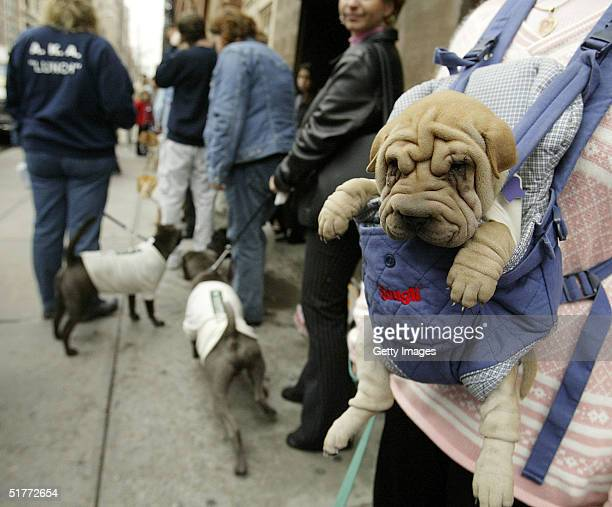 In this handout image provided by Dockers Scooter an eightweek old SharPei hangs in a carrier while waiting to enter the Dockers Never Iron Cotton...