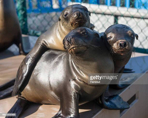 In this handout image provided by SeaWorld San Diego California sea lion pups recover at SeaWorld San Diego's Animal Rescue Center January 27 2015 in...