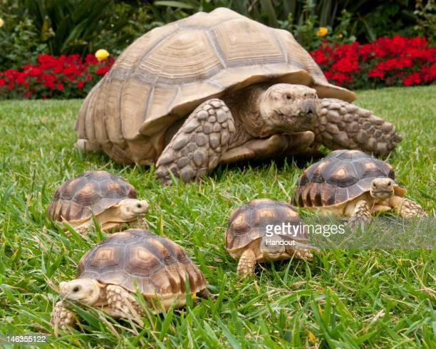 In this handout image provided by SeaWorld San Diego five Africanspurred tortoises also known as sulcata tortoises enjoy time on the grass at...