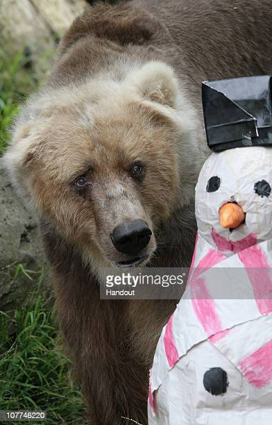In this handout image provided by Taronga Zoo a bear looks at a paper made snowman at Taronga Zoo on December 23 2010 in Sydney Australia The festive...