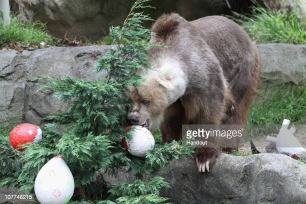 In this handout image provided by Taronga Zoo a bear plays with Christmas decorations at Taronga Zoo on December 23 2010 in Sydney Australia The...