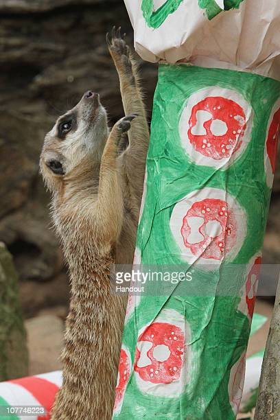 In this handout image provided by Taronga Zoo a meerkat plays with Christmas presents at Taronga Zoo on December 23 2010 in Sydney Australia The...