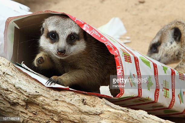 In this handout image provided by Taronga Zoo a meerket rests inside a Christmas present at Taronga Zoo on December 23 2010 in Sydney Australia The...
