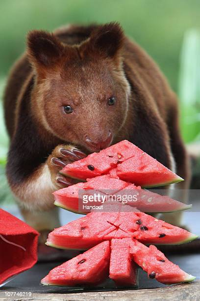 In this handout image provided by Taronga Zoo a tree kangaroo eats slices of watermelon at Taronga Zoo on December 23 2010 in Sydney Australia The...