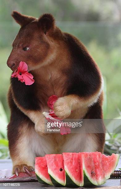 In this handout image provided by Taronga Zoo a tree kangaroo munches on a flower at Taronga Zoo on December 23 2010 in Sydney Australia The festive...
