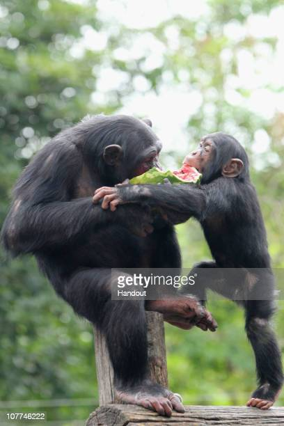 In this handout image provided by Taronga Zoo two chimpanzees share a piece of watermelon at Taronga Zoo on December 23 2010 in Sydney Australia The...