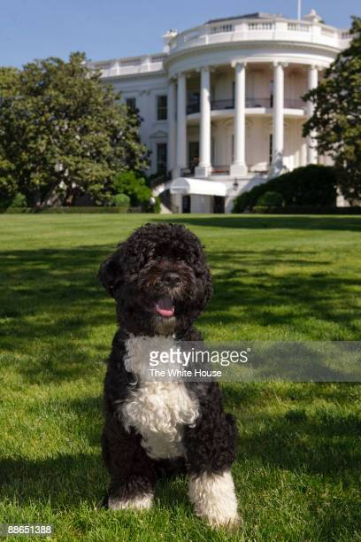 In this handout image provided by The White House the official portrait of the Obama family dog Bo a Portuguese water dog on the South Lawn of the...