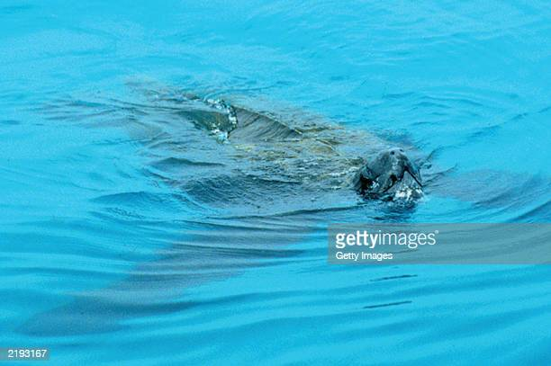 In this handout photo from the Marine Conservation Society a leatherback turtle is seen off the coast of Cornwall The Marine Conservation Society...