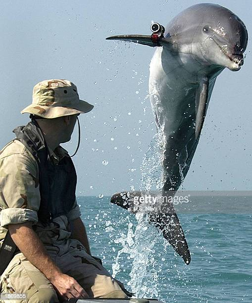 In this handout photo from the U.S. Navy, Sergeant Andrew Garrett watches K-Dog, a bottlenose dolphin attached to Commander Task Unit 55.4.3, leap...
