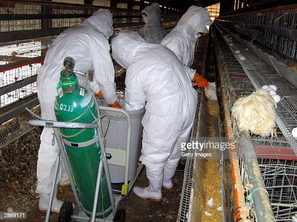 In this handout photo from the Yamaguchi prefectural government dated January 13, 2004 shows prefectural officers slaughter chickens containing...