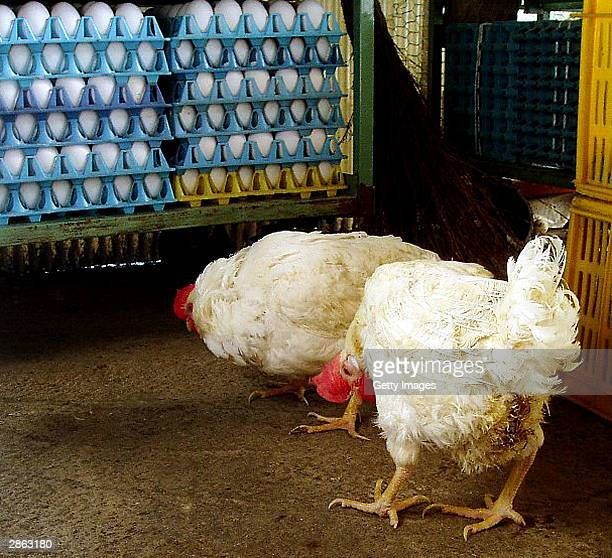 """In this handout photo from the Yamaguchi prefectural government, chickens contaminated with """"bird flue"""" are seen at Win-Win Farm, a poultry farm in..."""
