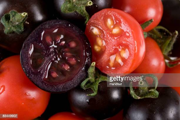 In this handout photo illustration provided by the John Innes Centre UK, purple tomatoes are seen on October 27, 2008 in Norwich, United Kingdom....