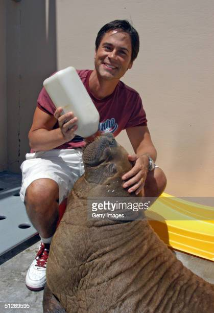 In this handout photo provided by Sea World actor Rob Lowe bottlefeeds Tessa a 204pound female walrus that was found beached in Barrow Alaska earlier...