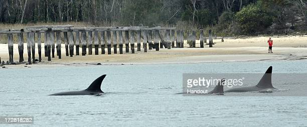 In this handout photo provided by Sea World Australia killer whales surface in the shallow waters July 4 2013 on Fraser Island Australia A pod of...