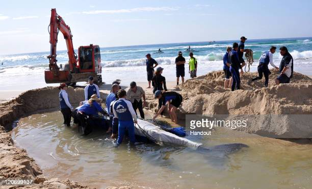 In this handout photo provided by SeaWorld Australia volunteer rescuers prepare to drag a beached humpback calf to sea at Surfers Paradise Beach on...