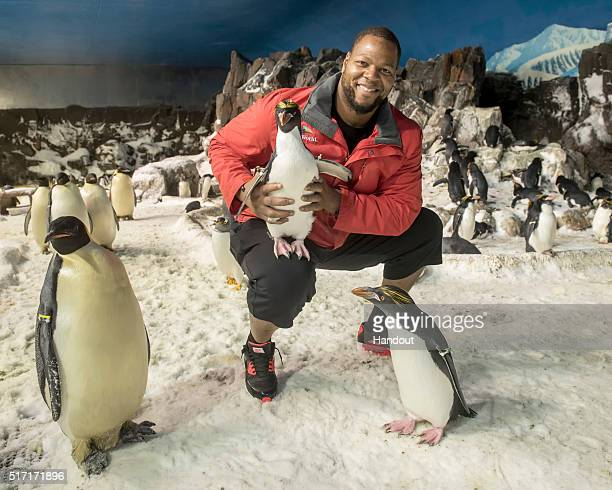 In this handout photo provided by SeaWorld San Diego Ndamukong Suh of the Miami Dolphins visits the 25 degree Penguin Encounter at SeaWorld San Diego...