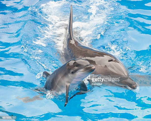 In this handout photo provided by SeaWorld San Diego Sadie a 13yearold bottlenose dolphin at SeaWorld San Diego swims with her newborn calf at the...