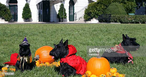 In this handout photo provided by The White House the White House pets India Miss Beazley and Barney sit for photos on the South Lawn of the White...
