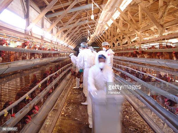 In this handout photo released by Ibaraki Prefecture, workers gather live chickens for a mass cull at a farm where the bird flu virus has been found...