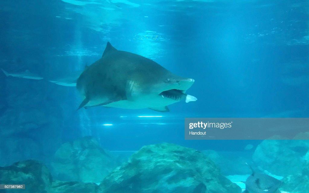 Female Shark Eats Male Shark At Aquarium In Seoul : News Photo