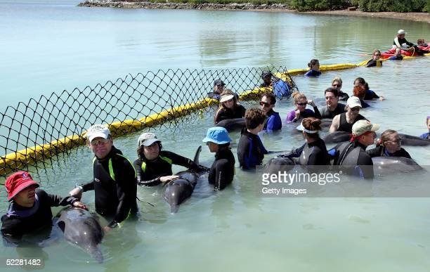 In this handout photo volunteer rescuers tend to roughtooth dolphins before the mammals were loaded into a Publix Supermarket semitrailer March 2005...