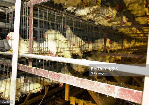 In this handout picture from Kyoto Prefectural dead chickens are seen at the Asada Nosan poultry farm where virulent H5N1 strain of bird flu virus...