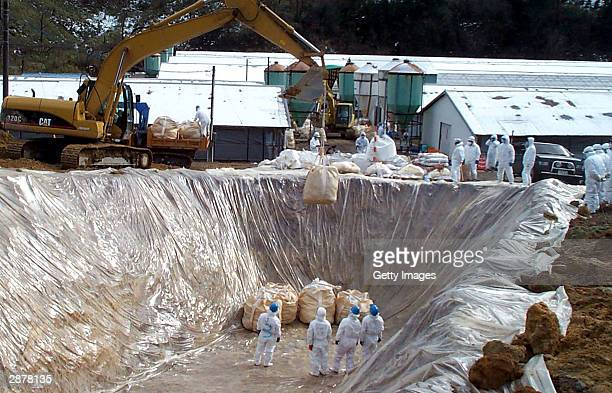 In this handout picture from the Yamaguchi Prefectural goverment, prefectural workers dispose of chickens that were slaughtered due to bird flu...