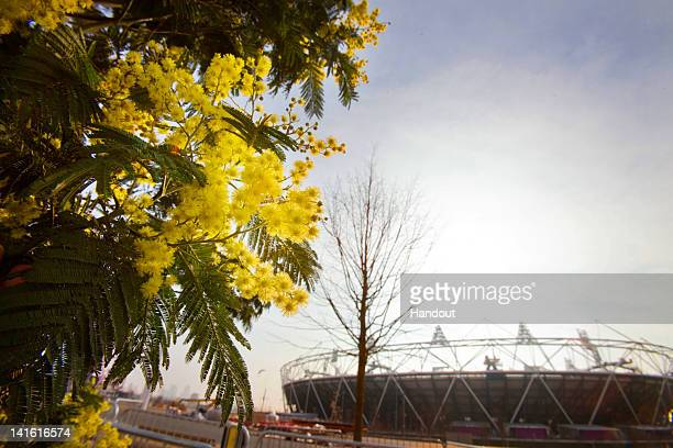 In this handout provided by the Olympic Delivery Authority Acacia trees are seen in the London 2012 Gardens as today marks the official start to the...