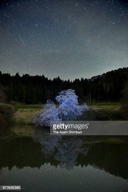 In this long exposure image a cherry blossom is in full bloom on April 24 2017 in Kitakata Fukushima Japan