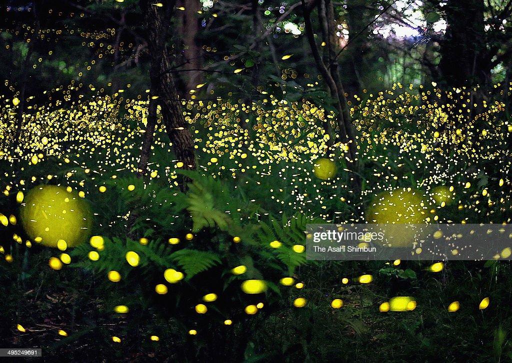 Fireflies Hover In Suita : News Photo